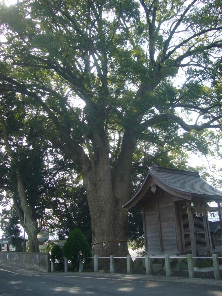 田殿丹生神社クスノキ